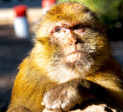 Old monkey in africa morocco and natural background fauna close. Up Stock Images