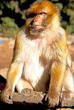 Old monkey in africa morocco   natural fauna close up. Old monkey in africa morocco and natural background fauna close up Stock Photos