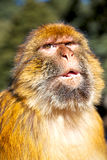 Old monkey in africa natural background fauna close up Royalty Free Stock Images