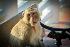 Old monkey. Close up a monkey looks old and absent-minded stock photography