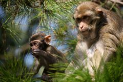 Old Monkey Looking Very Protective of Baby Monkey Royalty Free Stock Photos