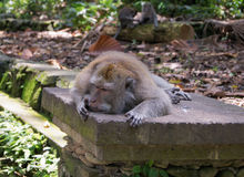 Old monkey. Lying on a stone tile old monkey Stock Photography