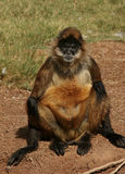 Old Monkey Man. Spider Monkey Sits Looking Like An Old Man royalty free stock photos