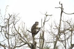 Old monkey sitting and watching on a lookout in a tree stock image
