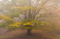 Old monumental beech in the fog Stock Photos