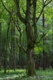 Old monumental Hornbeam Tree(Carpinus betulus) Royalty Free Stock Photo
