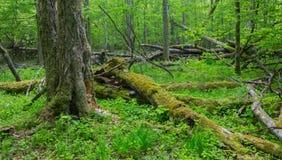 Old monumental Hornbeam Trees& x28;Carpinus betulus& x29; Royalty Free Stock Photos