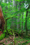 Old monumental oaks in forest Royalty Free Stock Photography