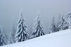 Old monumental spruces in windy, misty winter day stock photo