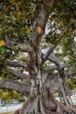 Old Moreton Bay Fig Ficus has literally grown with Beverly Hills over the years. Beverly Hills, CA, USA – January 16, 2016: Beverly Gardens Park, the 100 year Stock Photography