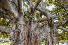 Old Moreton Bay Fig Ficus has literally grown with Beverly Hills over the years. Beverly Hills, CA, USA – January 16, 2016: Beverly Gardens Park, the 100 year Royalty Free Stock Images