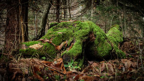 Old moss-covered rotting tree stump in the forest. In the autumn Royalty Free Stock Photography