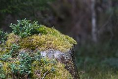 Old moss-covered tree stump Royalty Free Stock Photo