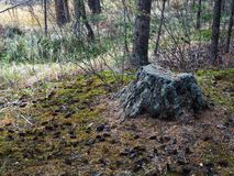 Old in the moss tree stump in the forest glade. Stock Photos