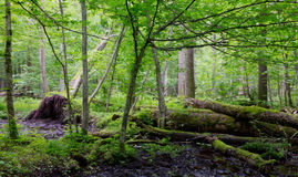 Old moss wrapped ash tree lying in natural deciduous stand Stock Images