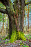 Old mossy green wood trunk Royalty Free Stock Images
