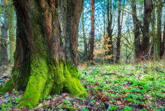 Old mossy green wood trunk Royalty Free Stock Photo