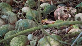 Old mossy human skulls on ground with branches and coins, Trunyan Cemetery