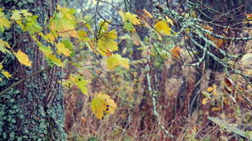 Old mossy maple in autumn with swaying leaves. Closeup, quiet area to relax stock video footage