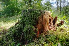 Old mossy stub in the forest. Close up Royalty Free Stock Images