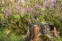 Old mossy stub in the forest. Close up Royalty Free Stock Photo