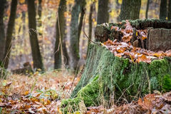 Old mossy stump in autumn forest Stock Photos
