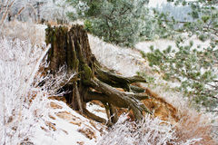 Old mossy stump under snow in the forest, early Stock Images