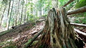 Old mossy tree stump in deep evergreen highland forest. Amazing nature tracking video stock video