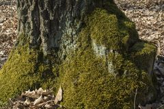 Old mossy tree stump Stock Photo