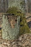 Old mossy tree stump Royalty Free Stock Images