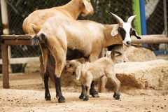 Old mother sheep with drinking brown lamb Stock Photography