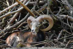 Old Mouflon. In front of a Pile of Wood stock photos
