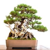 Old mountain pine Pinus mugo with deadwood as bonsai tree stock photography