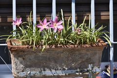 Old mud planter with pink flowers and green leaves on ribbon stock image