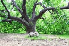 Old Mulberry tree. The old Mulberry tree background. Photo taken in Beijing , China stock photos