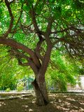 An old mulberry tree in the garden. Mobile photo stock image