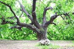 Old Mulberry tree. The old Mulberry tree background. Photo taken in Beijing , China stock photography