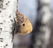 Old mushroom on birch in nature Stock Photography
