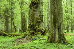 Old natural forest. In the spring,Bialowieza Forest,Europe royalty free stock photos