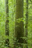 Old natural forest. Summer, Europe,Poland,Bialowieza Forest royalty free stock photo