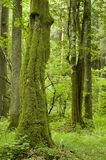 Old natural forest. With mossy hornbeam tree trunk Stock Images