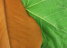 Old and New. Richly toned brown leaf overlapping a vibrant green leaf Royalty Free Stock Photography