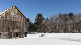 Old New England Barn and cow in winter Stock Photography