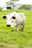 Old Nguni Cow and her Herd Stock Images