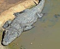 Sunbathing brute. An old Nile crocodile basking in a pool kzn safari park SA royalty free stock photography