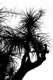 Old Nolina recurvata Hemsl. -  silhouette Royalty Free Stock Photos