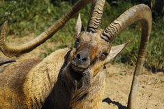 Old nubian ibex closeup Royalty Free Stock Image