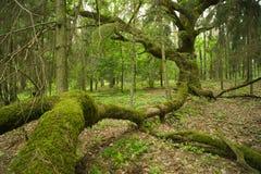 Old oak. Stock Images