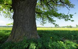 Old oak Stock Photo