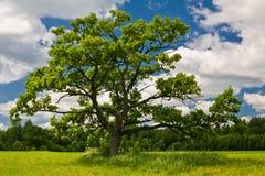 Old oak Stock Images
